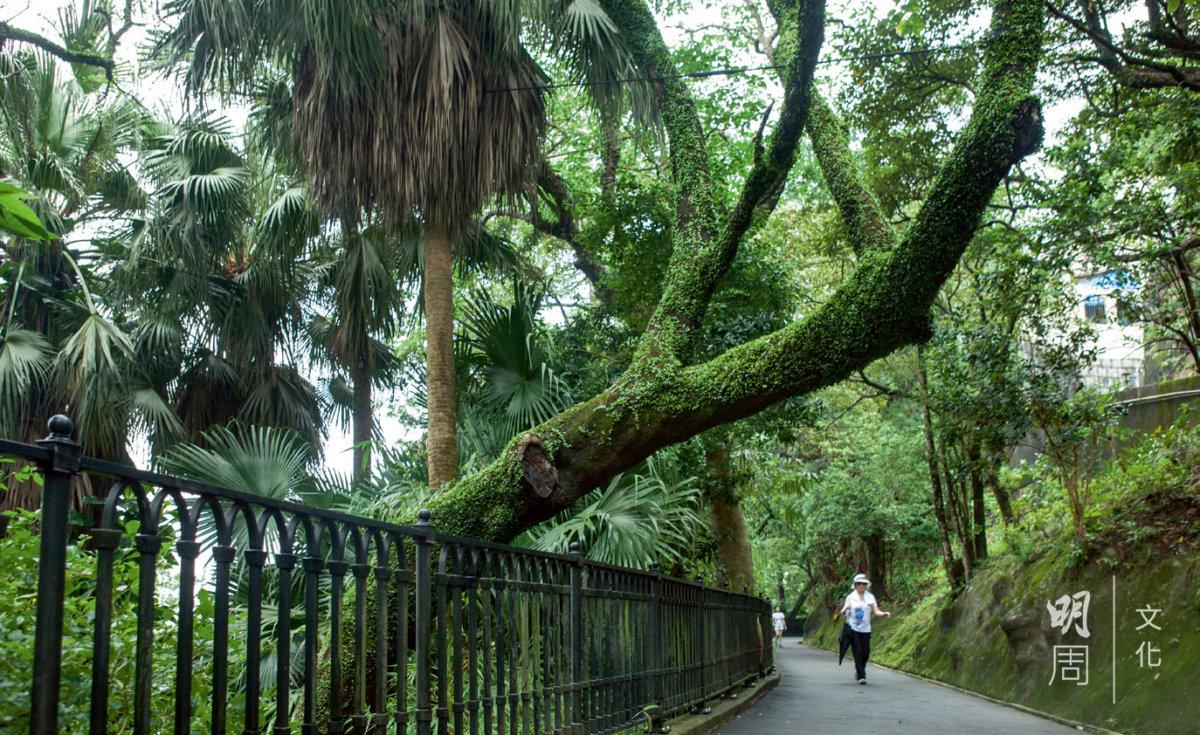 橫生的樹身伸向路旁,路上綠樹林蔭,細看更是一樹一景致。
