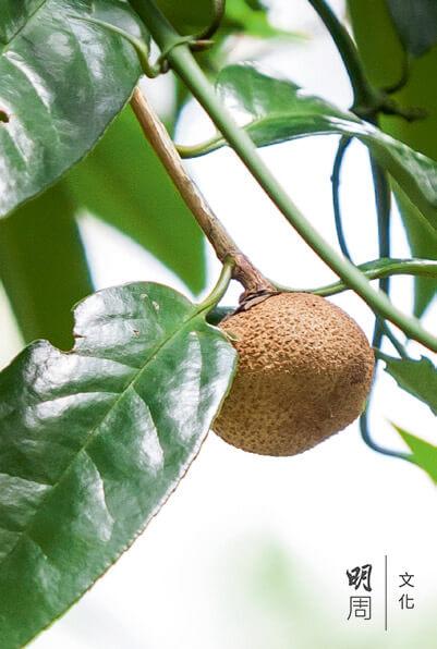 白桂木 Artocarpus hypargyreus 為桑科波羅蜜屬下的一個本 地物種。