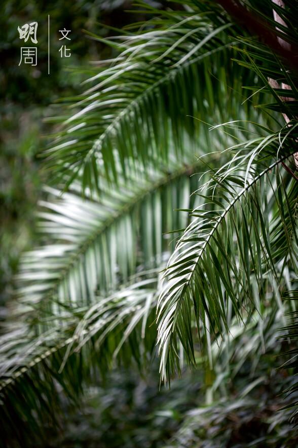 刺葵 Phoenix hanceana 棕櫚科刺葵屬植物,外來物種。