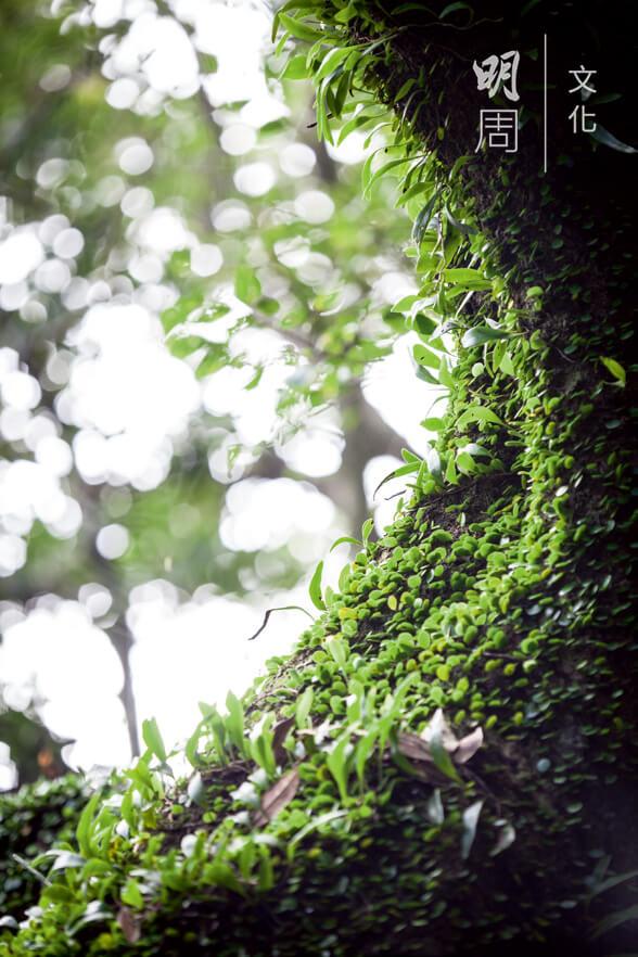 蕨類植物 Pteridophyte 葉特稱為蕨葉(frond),常依附於樹幹和樹枝上。