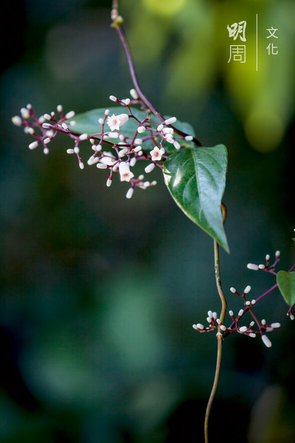 雞屎藤 Paederia foetida 為茜草科雞屎藤屬下的一 個種。具中藥價值,能祛風利濕,止咳止痛。