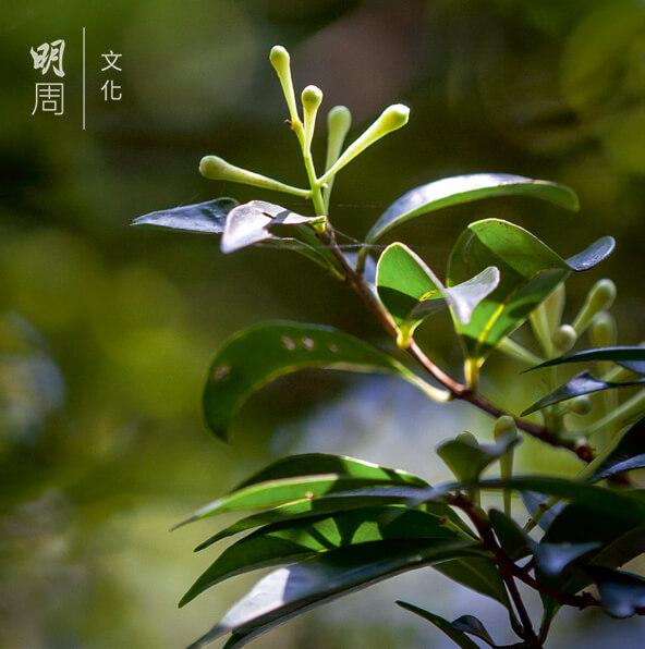 短序潤楠 Machilus breviflora 科屬樟科、潤楠屬,耐陰不耐寒,常見於香港低地山坡樹林或溪旁。