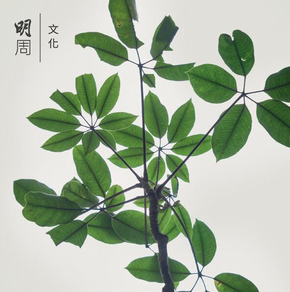 鴨腳木 Scheffleraoctophylla 為常綠灌木,分枝多,枝條緊密,掌狀複葉。屬本地物種。