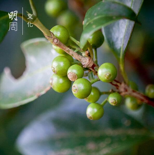 狗骨柴 Tricalysia 茜草科下的一個屬,本地常見灌木或喬木植物。