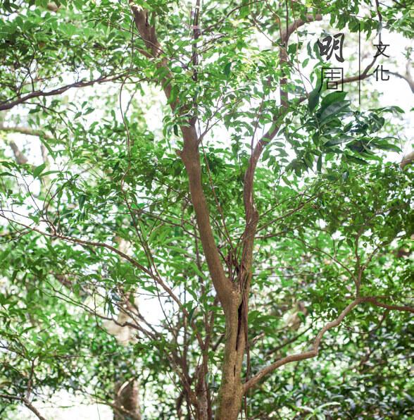 假蘋婆 Sterculia lanceolata 別稱七姐果、雞冠皮,為梧桐科蘋婆屬半 落葉喬木植物,是本地物種。