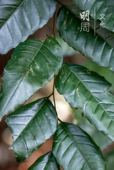 福氏臭椿 Ailanthus fordii 臭椿屬,喬木,香港原生植 物。高大樹幹,樹冠恰似很多小傘,受香港法例96章林務規例保護。