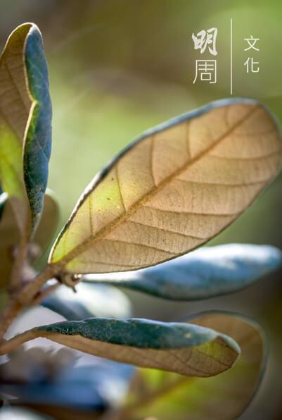 黃背櫟 Quercus pannosa 為殼鬥科櫟屬的植物,常綠 灌木或小喬木,葉橢圓形, 背黃色。