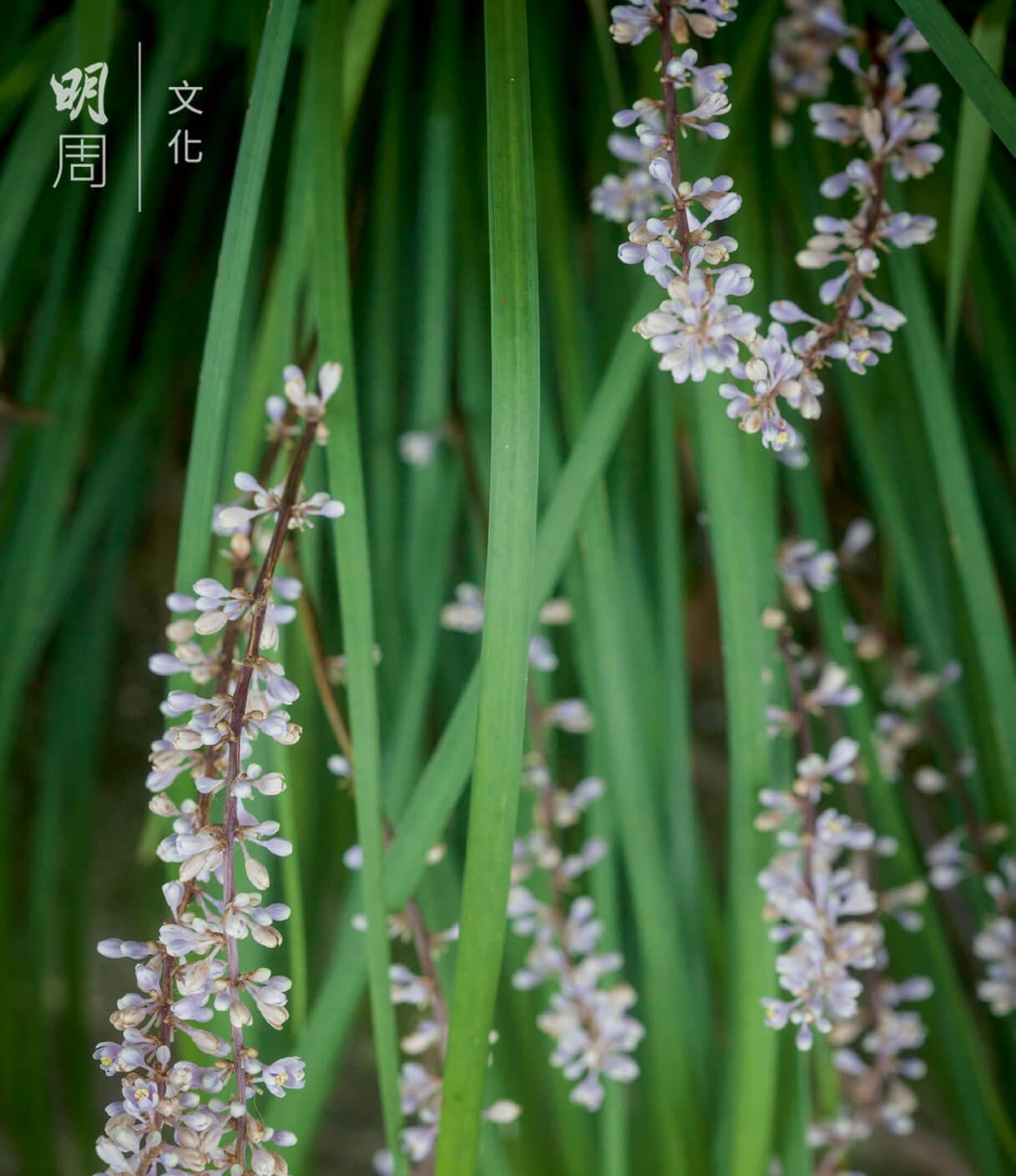 簇簇紫色小花聚生枝梢,彎彎花莖搖曳生姿, 是為花的美態一種。