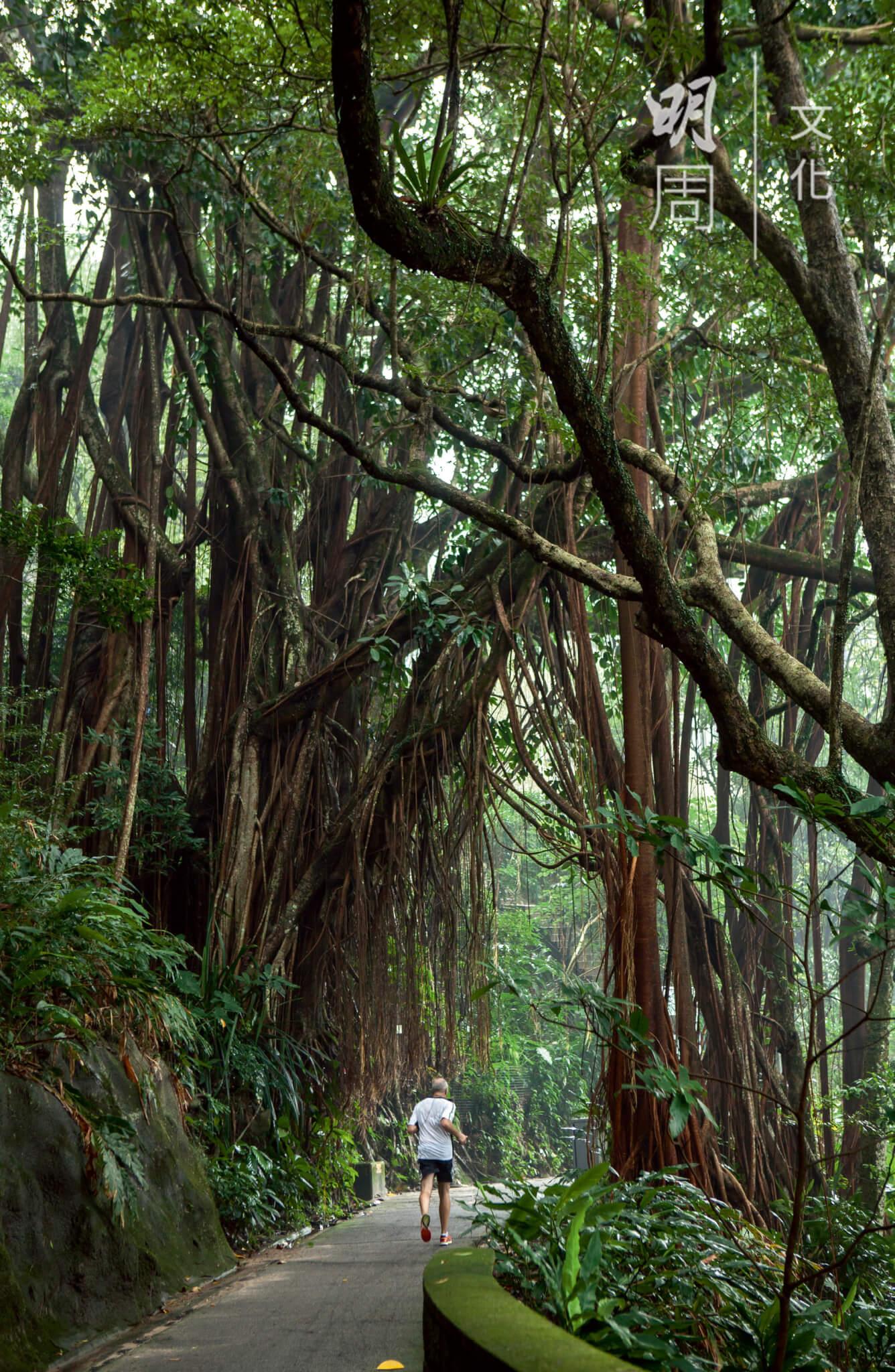 印度橡樹,盧吉道地標之一,其龐大的樹身與氣根形成一座拱門,讓人通過。