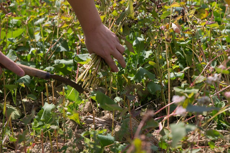 為了防止蕎麥沾上泥沙,農夫只得彎腰,小心地收割蕎麥,