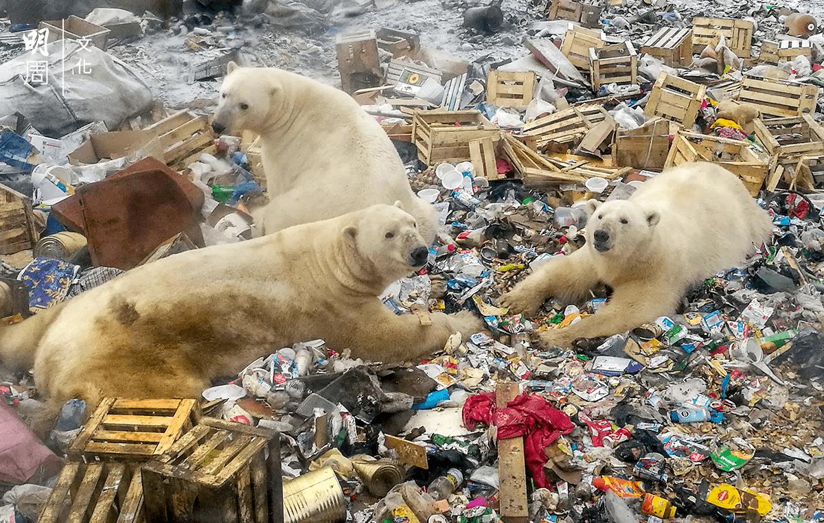 二○一八年十月三十一日,數頭北極熊在俄羅斯北部村落Belushya Guba的垃圾場尋找食物。