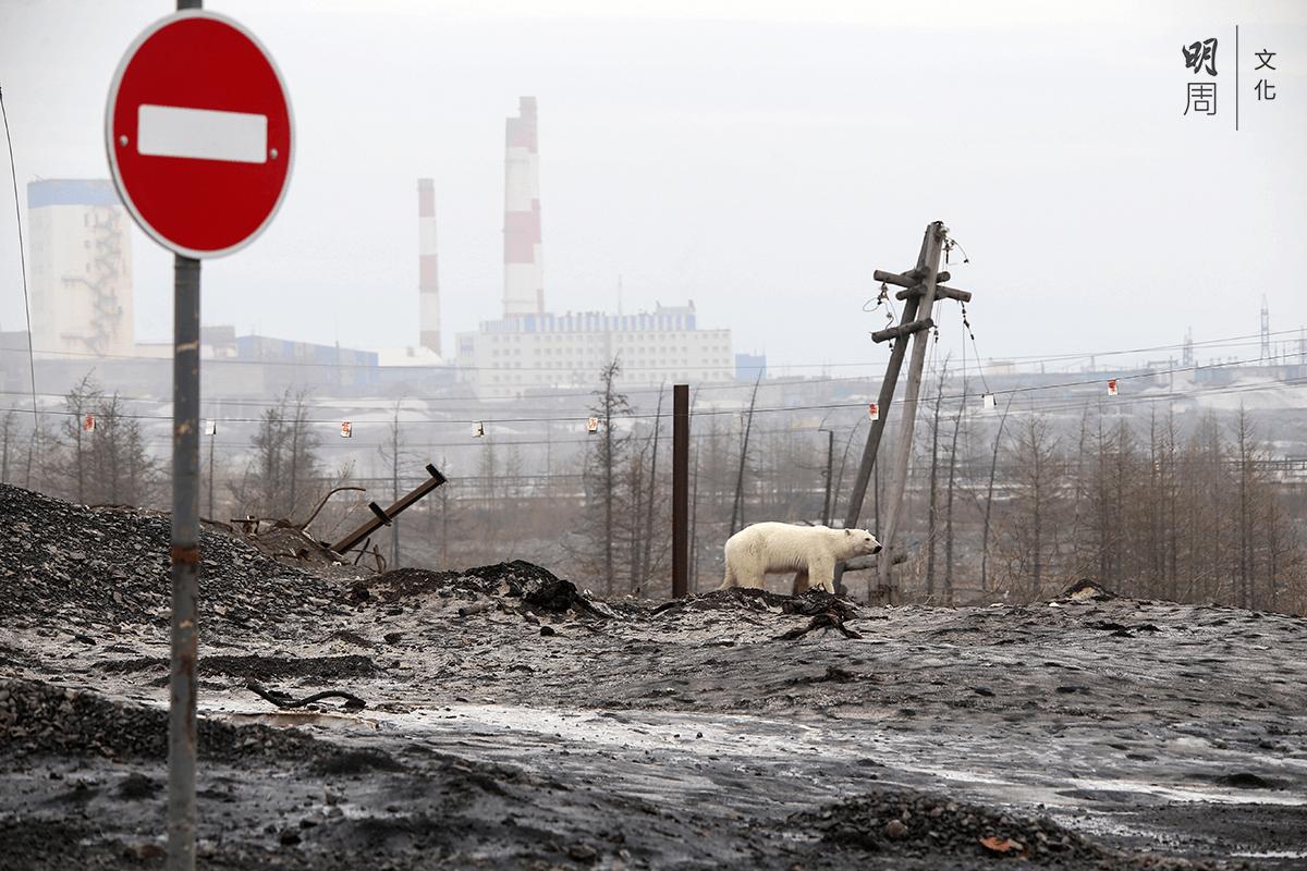 二○一九年六月十七日,一頭北極熊在距離其棲息地數百里的俄羅斯工業城諾里爾斯克(Norilsk)遊蕩。