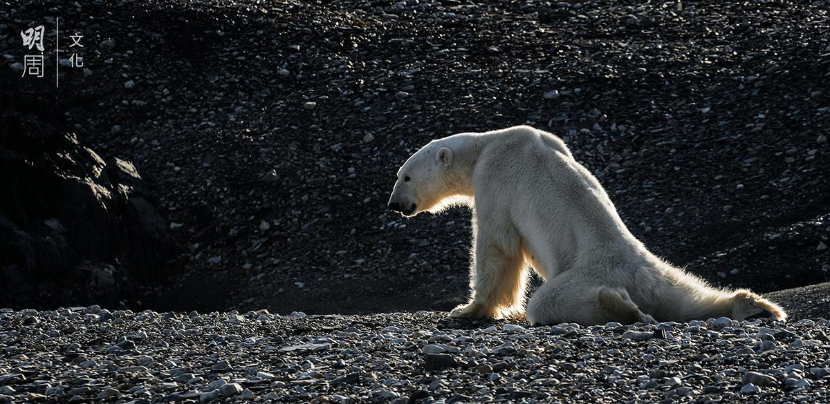 二○一六年八月十九日,一頭骨瘦如柴的北極熊在挪威的Spitzbergen岸邊筋疲力竭地行走。