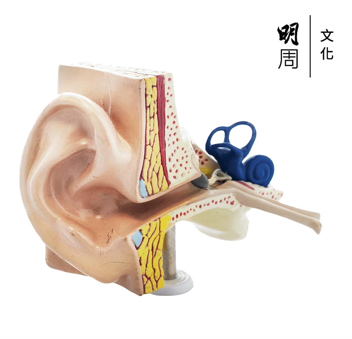 長期暴露在音量過大的噪音中,會令耳窩後面的聽覺神經線受損。