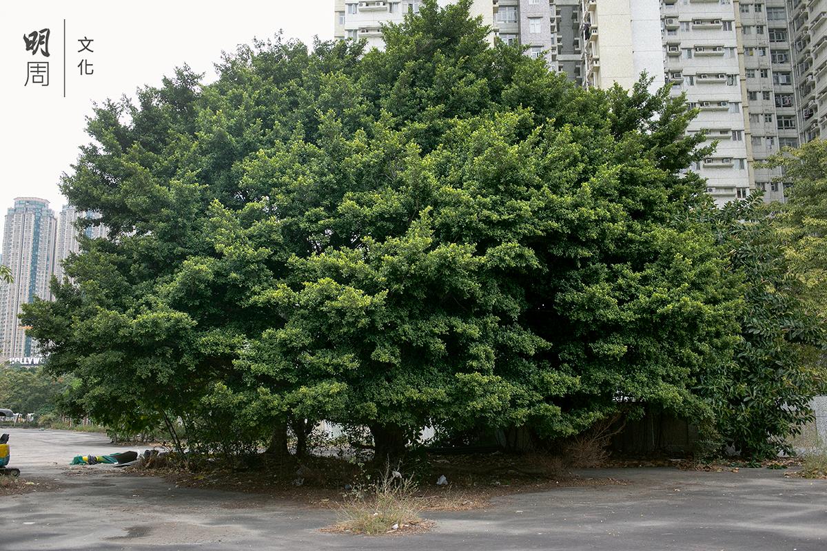 新蒲崗四美街側、采頤花園西面,有一棵枝繁葉茂的 大榕樹。樹身高,樹冠闊,樹幹粗,枝葉特別濃密, 結構完整對稱,健康茁壯,充分表現細葉榕的風姿。