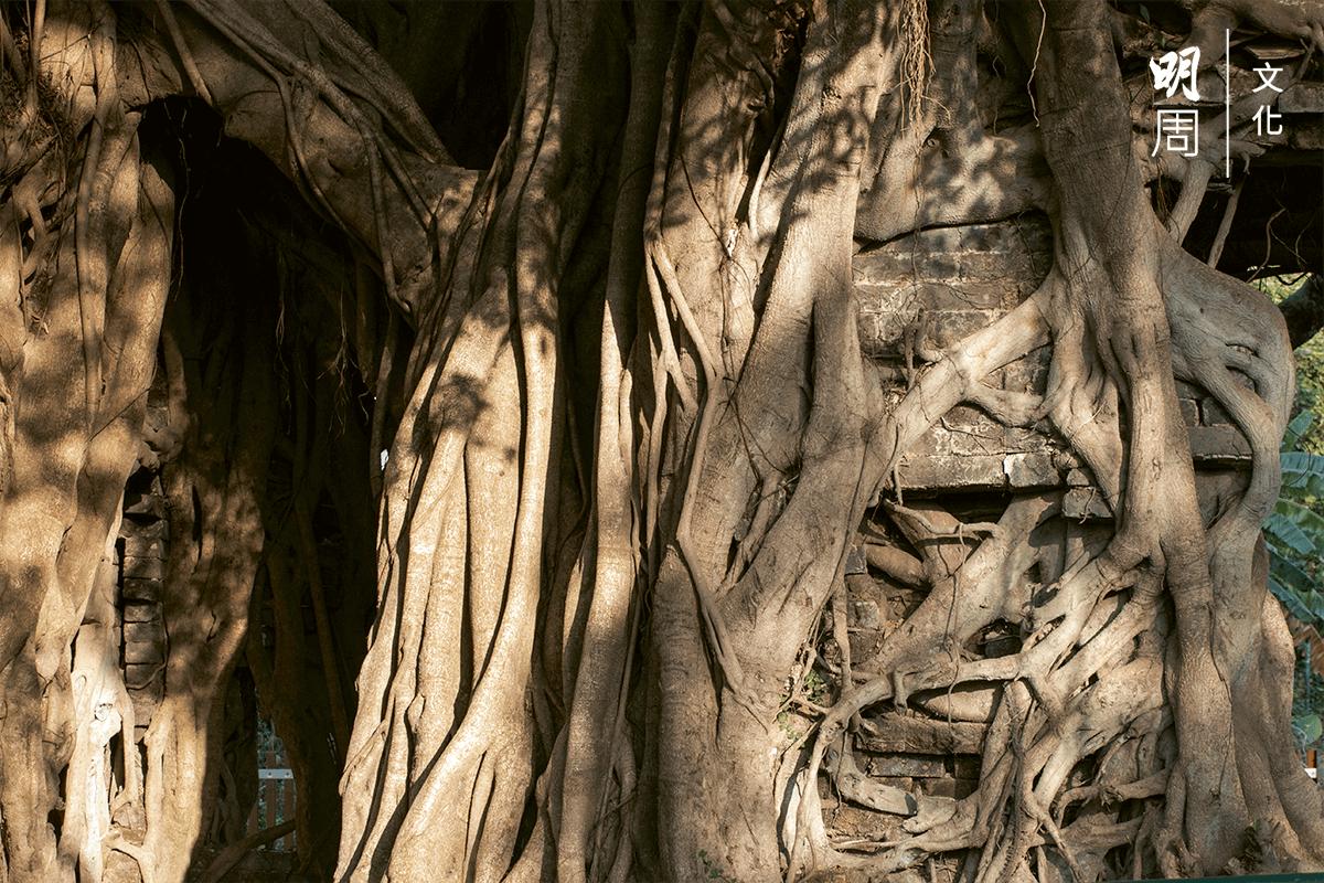 幾百歲的榕樹經年累月吞噬了一座清代房屋,樹屋奇觀見證了清初下達遷界令的悲慘歷史。