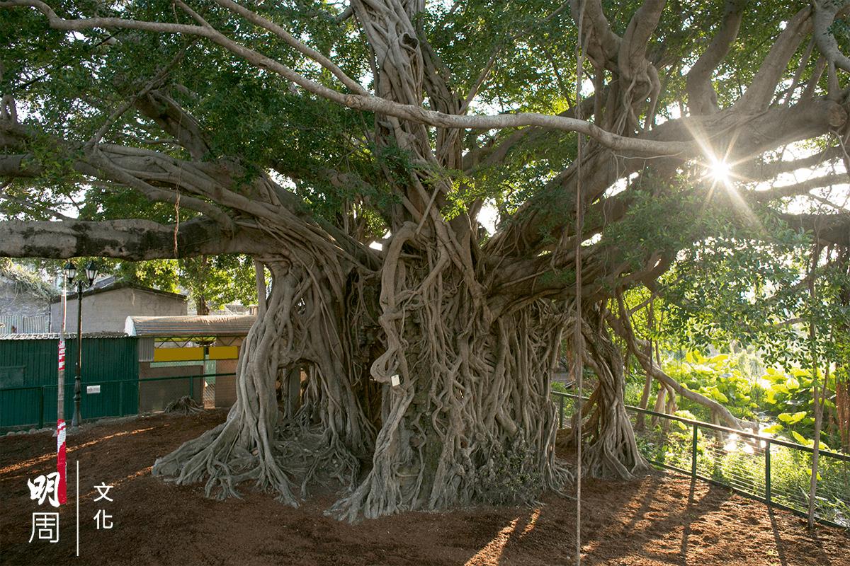 明周 064 元朗錦田水尾村樹屋是香港最古老的 榕樹,曾在「最喜愛的古樹名木」選 舉中榮膺樹王。老樹近期受到二次傷 害,令樹木專家擔憂。