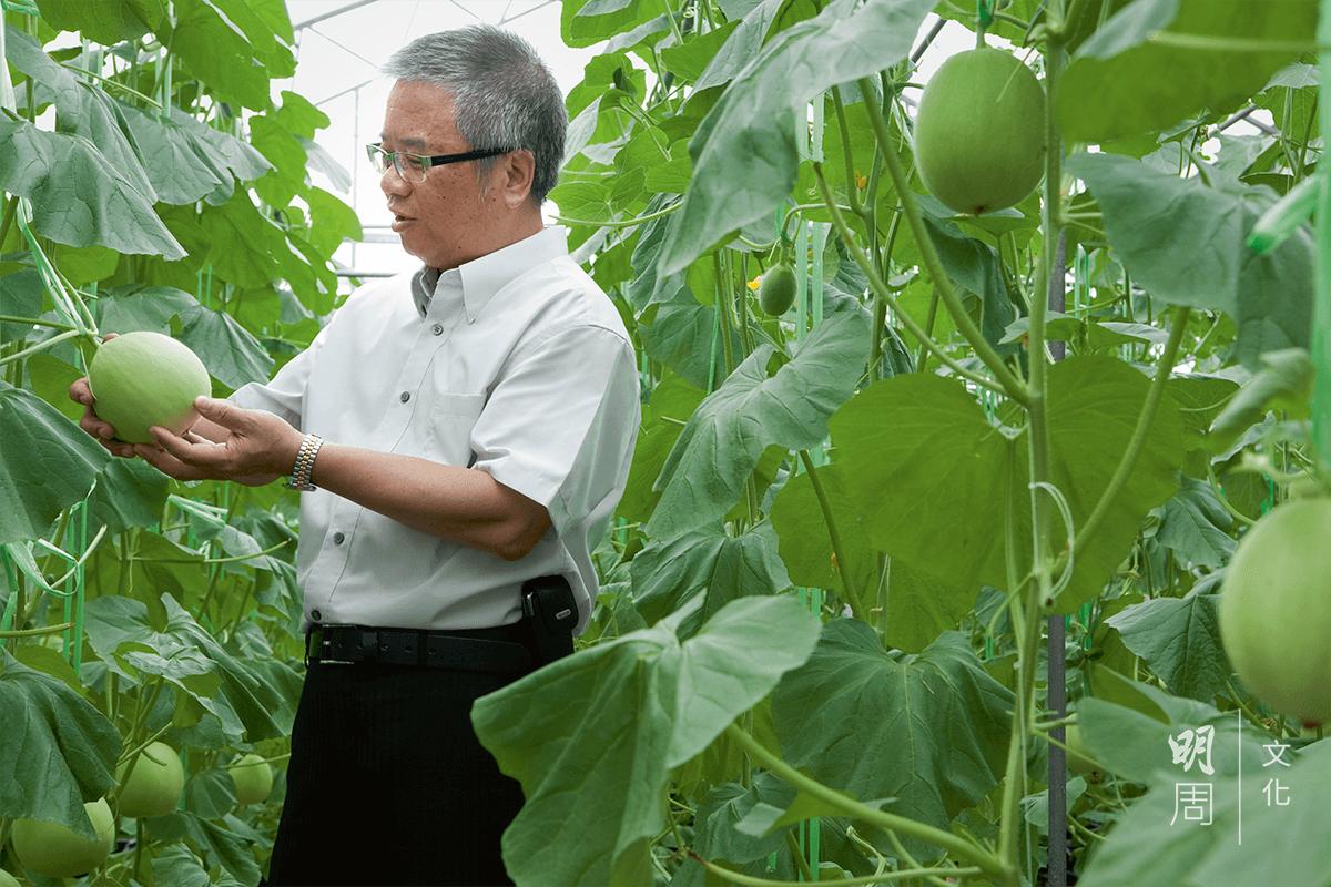 陳兆麟從日本、台灣、 澳洲等地引進適合香港 種植的品種,推廣給本 地有機農戶,希望形成新的香港品牌。圖為他在視察蜜瓜生長狀況。