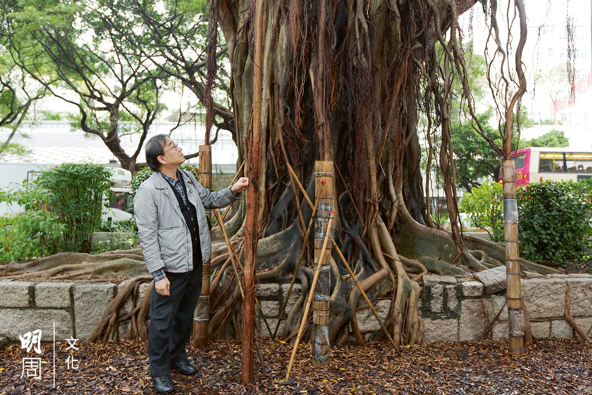 詹志勇倡導用竹筒接引氣根,木質化之後便可牢牢鞏 固本身的結構,增加吸水及養分能力,稍微幫一幫老 樹,可以長得更好。