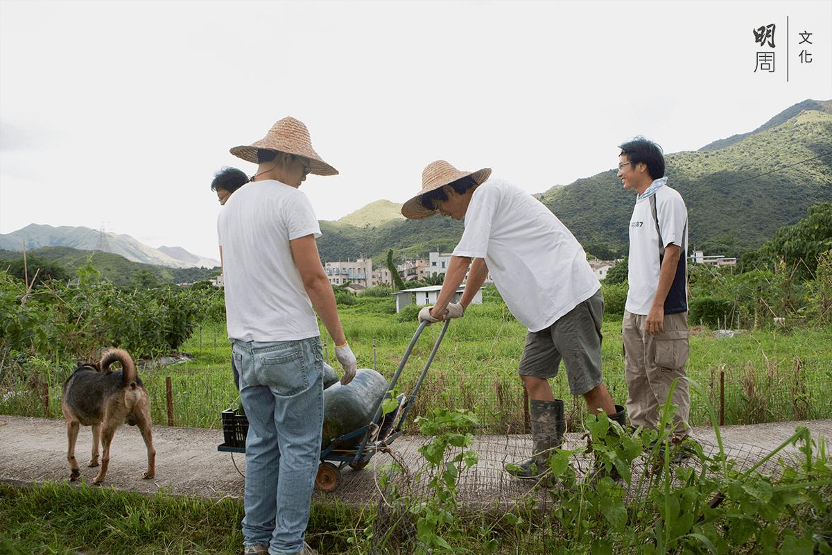 冬瓜大豐收,農友齊齊來幫手。