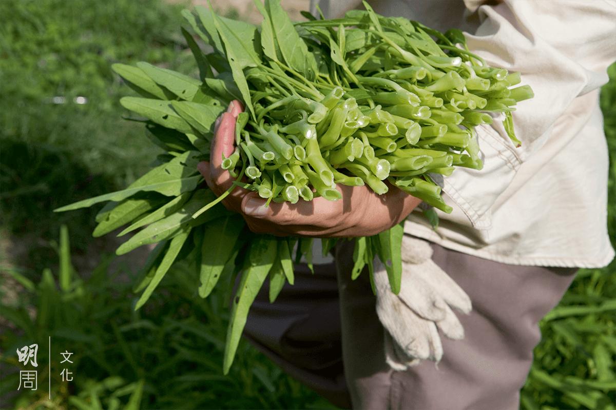 多年來自家留種的通菜,黃如榮視為是父母的饋贈。