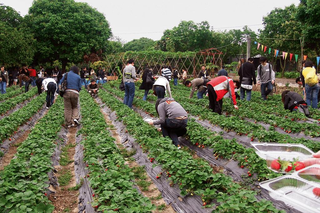 到新界摘草莓成為快速約會的新熱。(圖片由214 Dating提供)