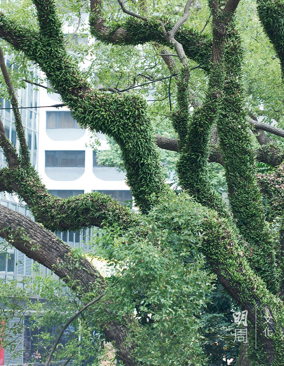 二十年前石屎工程種下的惡果,略顯病態的樟樹依然堅韌地生長