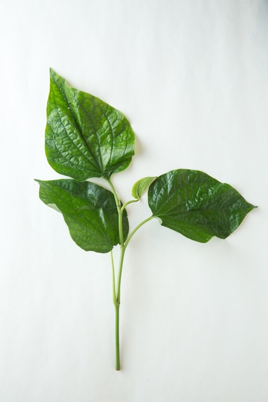 水土不同,長出的葉片質感亦不一樣。產於泰國的檳榔葉翠綠而明亮,手感較為薄嫩。