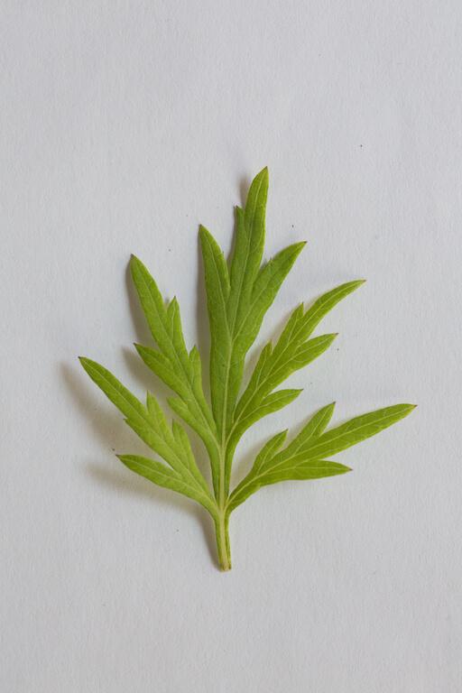 清明粄常見以艾草製作,也有客家人以粗麻葉作材料,視乎找到什麼材料而定。近年多使用烘乾 再打成粉末的粗麻葉,其色呈深綠,草味更濃。