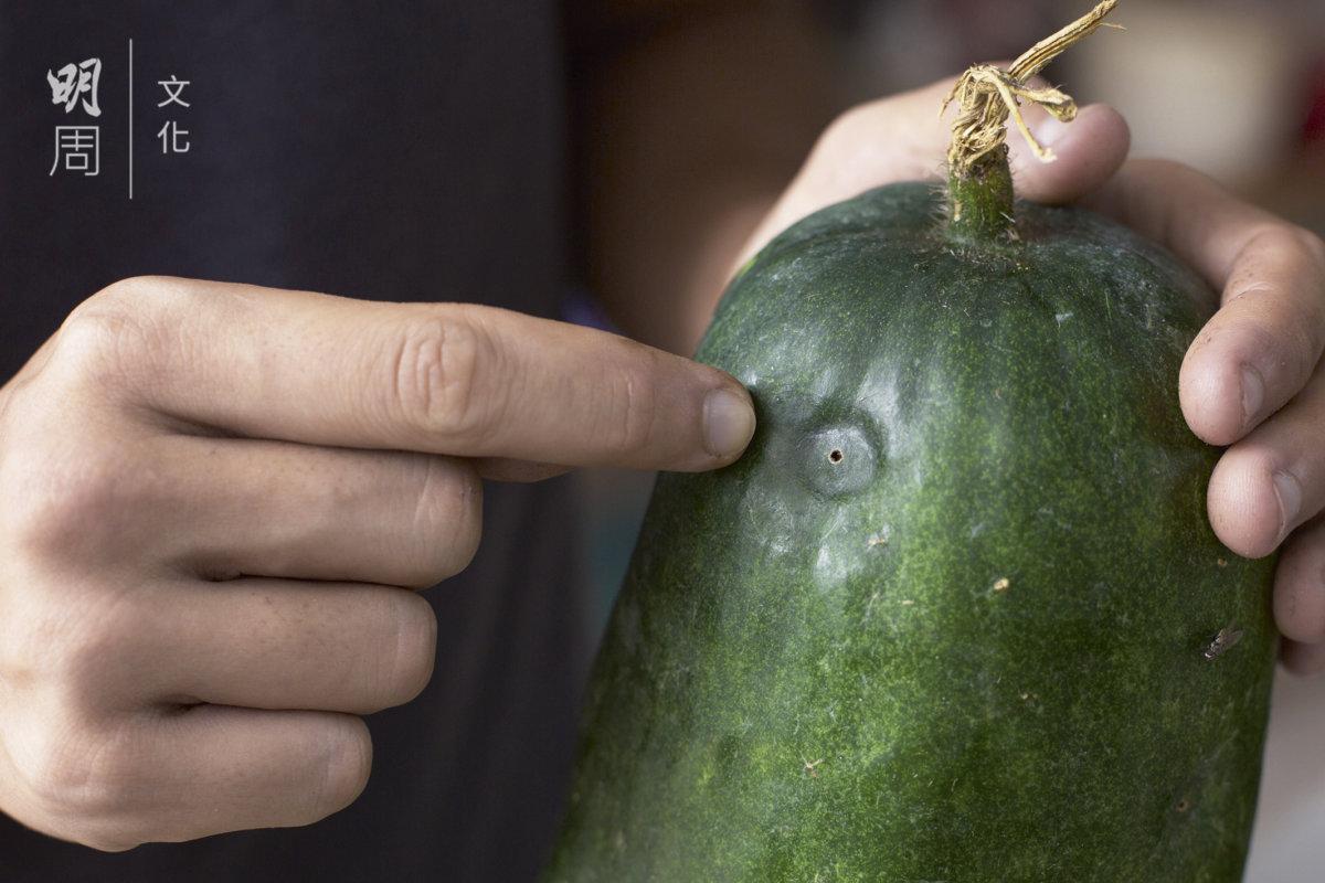 節瓜被果蠅叮咬,最終會腐爛掉下,幫助節瓜 內的種子回到田上,其實是共生關係。