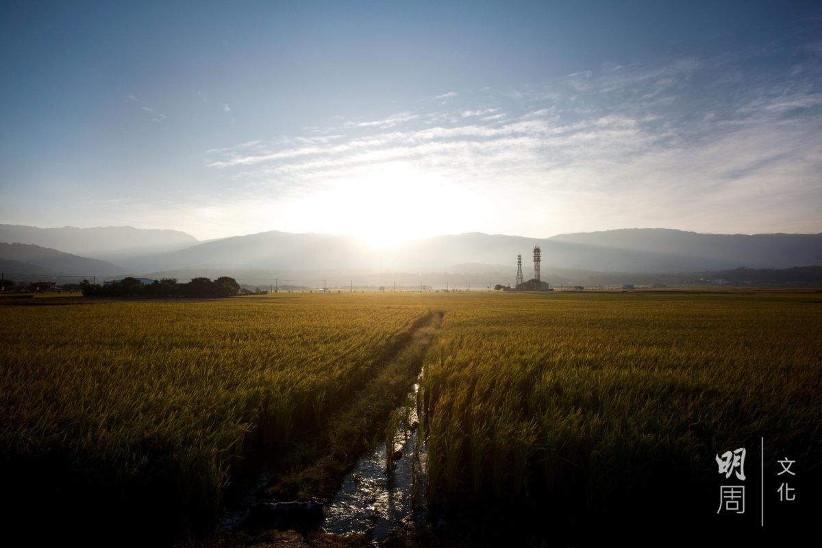 池上米以池上便當一炮而紅,當地稻田面積約1,500公頃,不到全台灣1%。