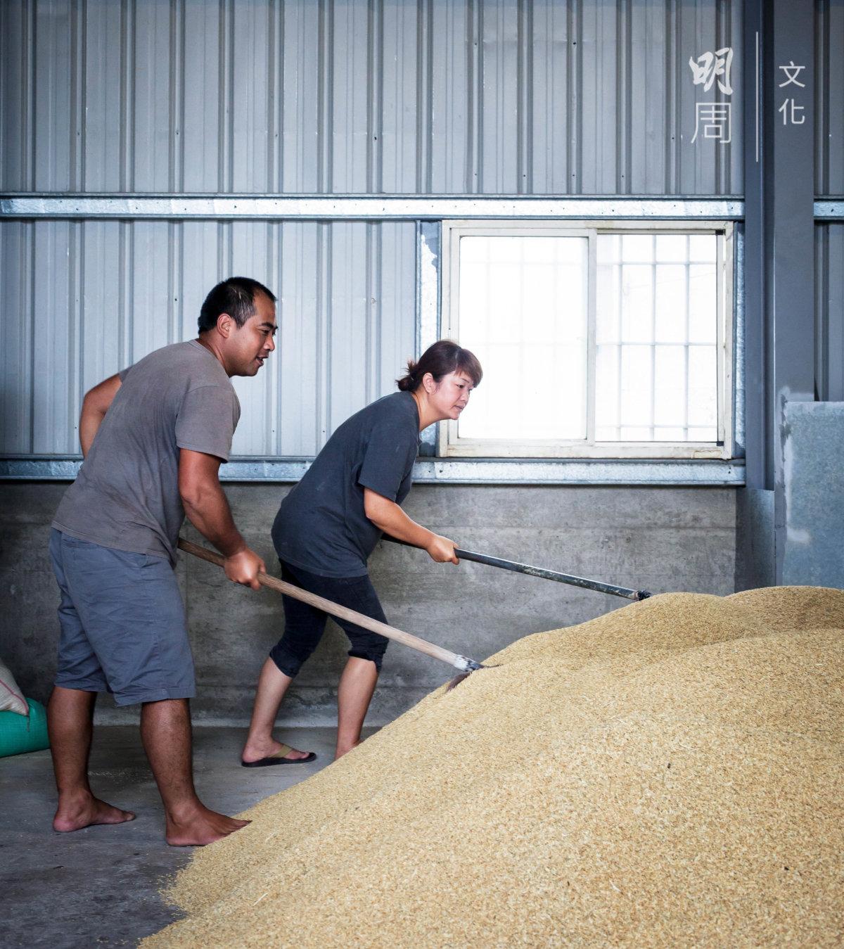 剛剛烘乾的稻穀推入鼓風機