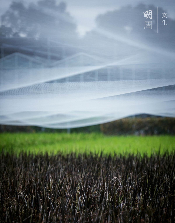 水稻花蓮23號的蘗數及產量均較一般水稻栽培品種為低, 較不適合作為一般糧食生產的水稻作大面積栽培。