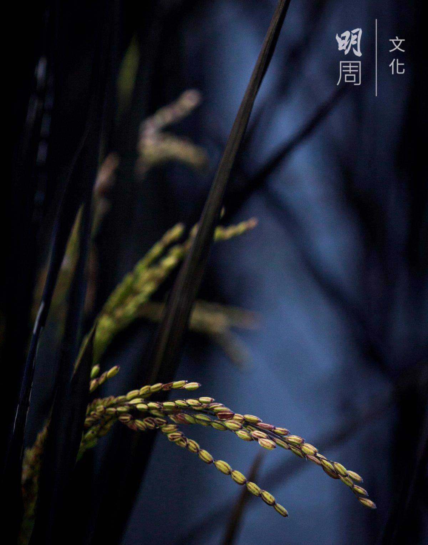 花蓮23號為台灣第一個以稻田彩繪為目的命名 的品種,在糧食生產之外多了一個景觀美化功 能,更進一步使水稻產業與觀光產業結合。