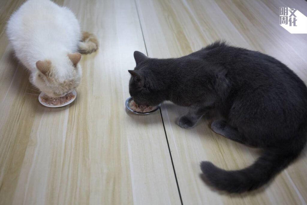每逢下午四時,公司的貓貓就會自動跳上木桌「開餐」。