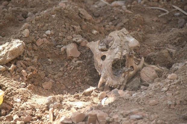伊拉克一家動物園倒閉後,被疏忽照顧而死於籠內的動物屍骸。(網上圖片)