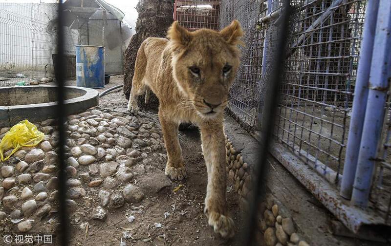 加沙一倒閉動物園中,被遺棄的母獅顯得瘦骨嶙峋。(網上圖片)