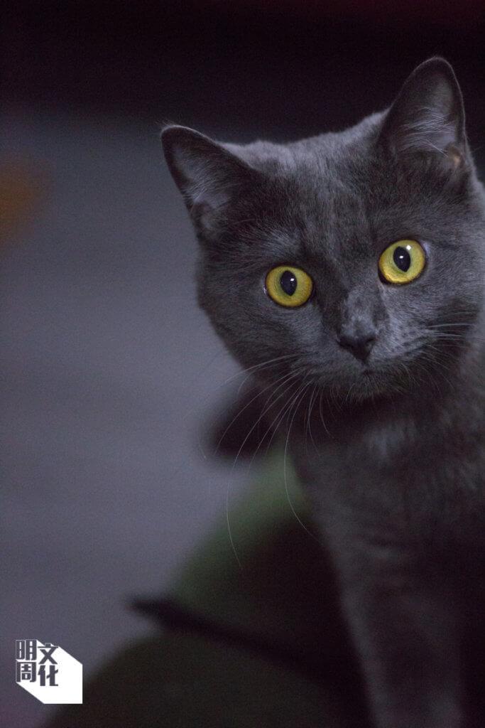 黑貓Simon遭棄養,現在由「天下貓貓」員工照顧。