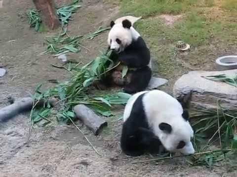 曾深得大家喜愛的熊貓安安與佳佳(網上圖片)
