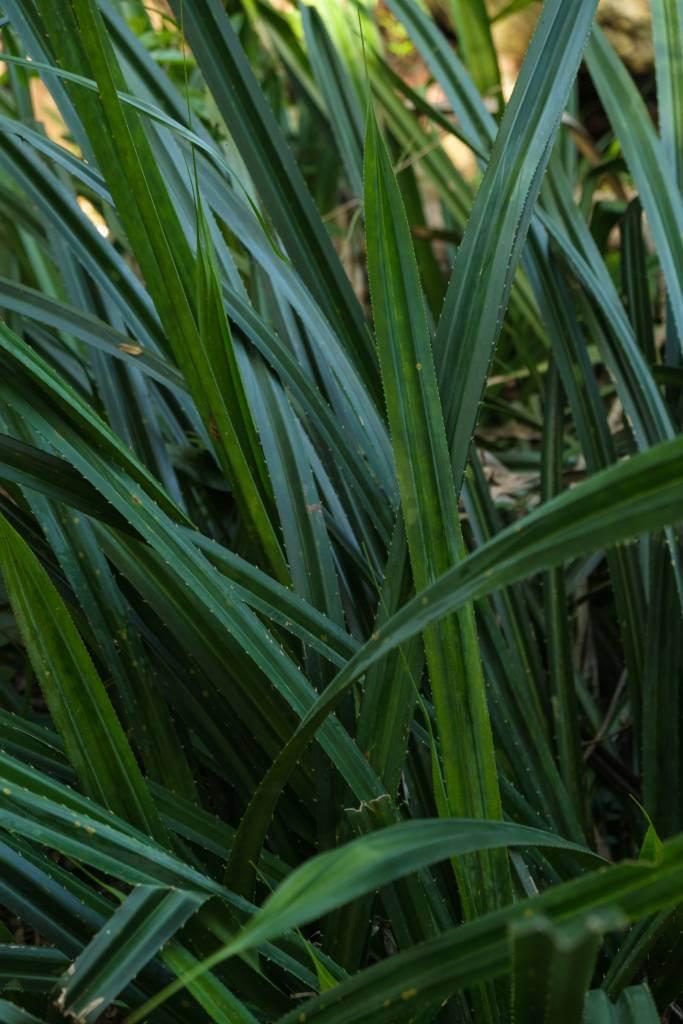 箬竹與蘆兜,就如一對兩生花。後者狹長而帶刺,與箬竹葉截然不同。