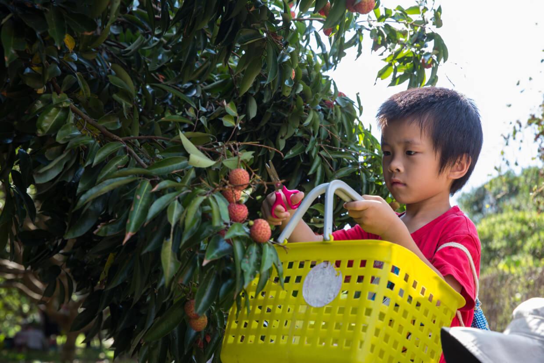 稚童手小只能逐粒剪,採摘後只能保鮮兩三天。潘媽媽解議同行成人盡量連枝帶葉摘荔枝,可以持久保鮮,把甜美水份凝住兩星期。