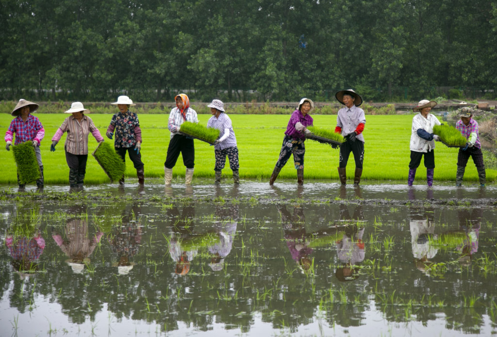 Local farmers are busying working in paddy field during summer planting season, Taizhou city, east China's Jiangsu province, 10 June 2020.