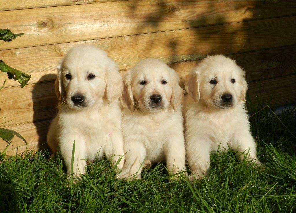 chien-golden-retriever-animal-1497220749lj6