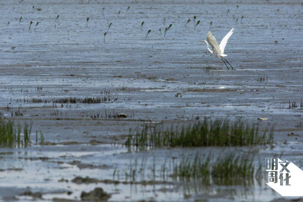 羽色雪白的大白鷺,飛行時給人大個子的感覺。全年常見於米埔后海灣,也有部分是往南部越冬,秋天時路經此處。