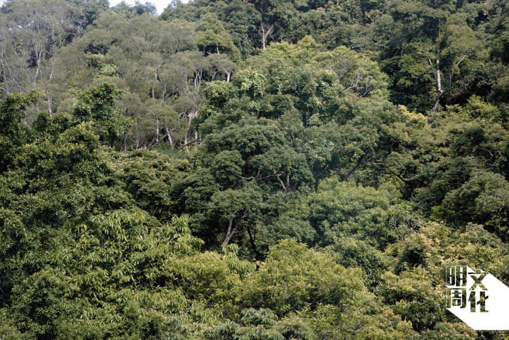 Ivan說,大埔滘自然護理區過去未曾受山火影響,自政府在二十年代植林至今,成為一個茂密的成齡次生林。