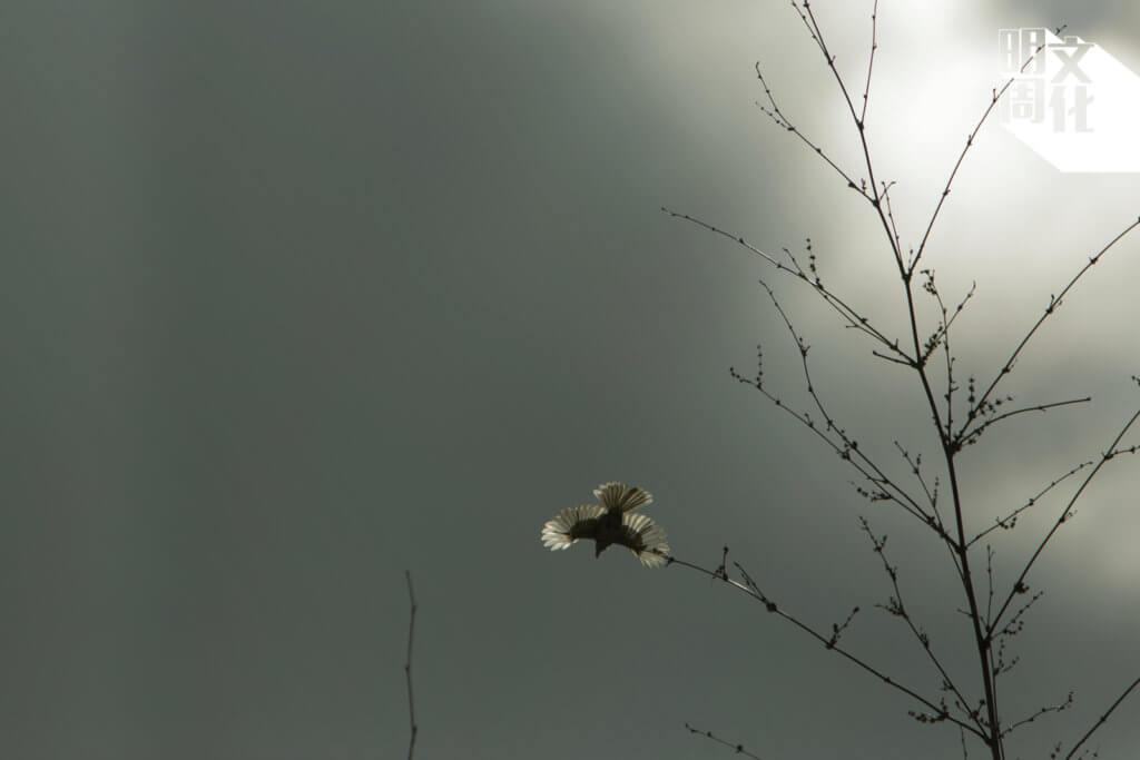 秋風輕拂,一隻小白腰雨燕在長空翩躚起舞。