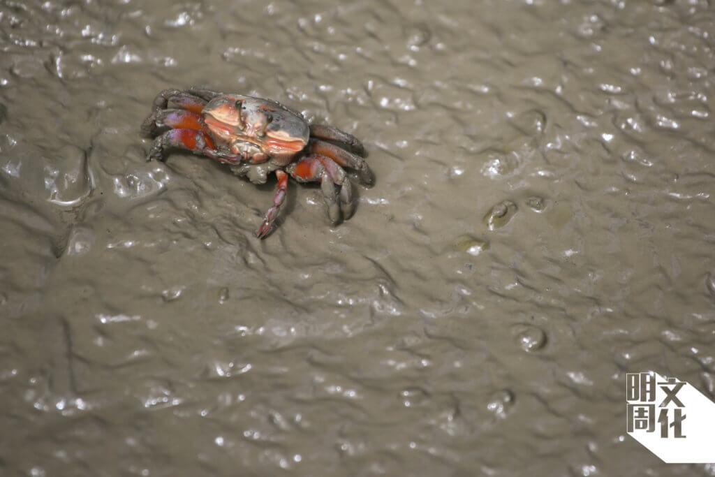 泥灘上的招潮蟹,擁有一大一小的螯,由於時常揮動大螯,好像召喚潮水一樣,因而得名。