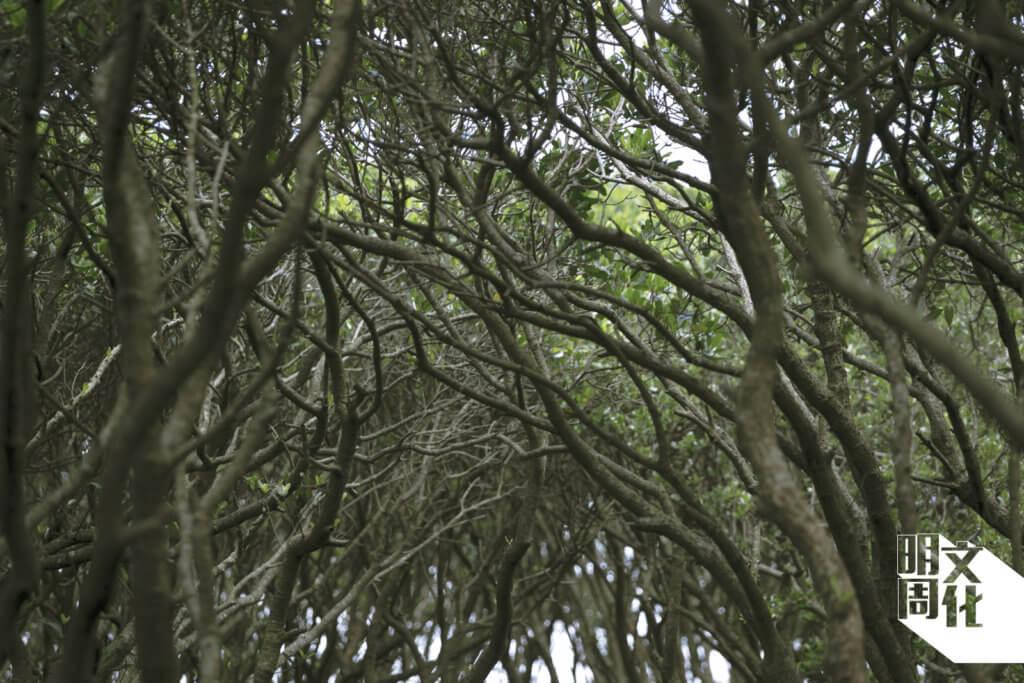 茂密的紅樹林,抓緊黏性而不穩定的土壤,減低被潮水沖走的機會。