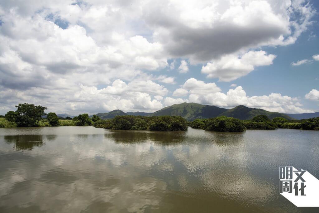 后海灣和陸地接壤之間的基圍,水位覆蓋林木,「從前的居民,水退時會在泥面種米或農作物。」