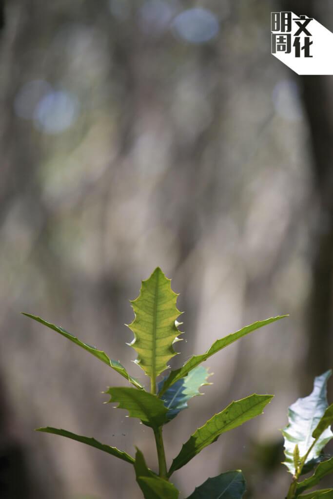 在紅樹林的浮橋邊,常見一種名為老鼠勒的植物,「鹽腺分佈於葉面, 成熟時葉邊會呈刺狀突起,像狗牙。」Austin說。